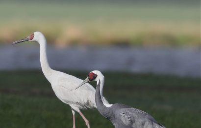 Siberian Crane & White-naped Crane