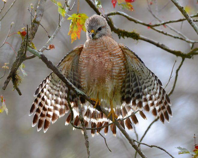 Red-shouldered Hawk - BirdWatching