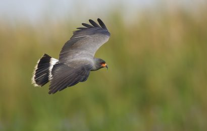 Identifying Snail Kite