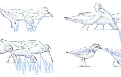Shorebirds feeding patterns