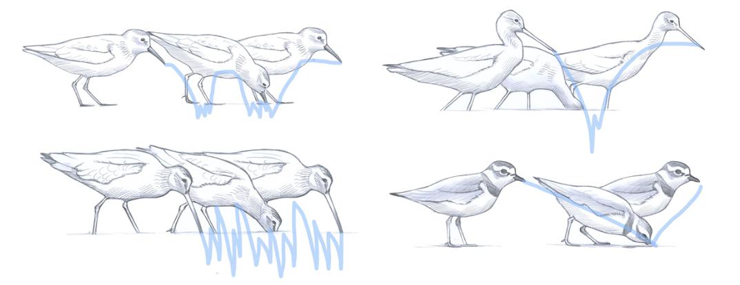 Shorebirds feeding patterns