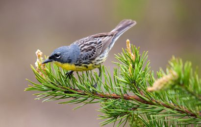 Study: Cowbird trapping no longer necessary to protect Kirtland's Warbler