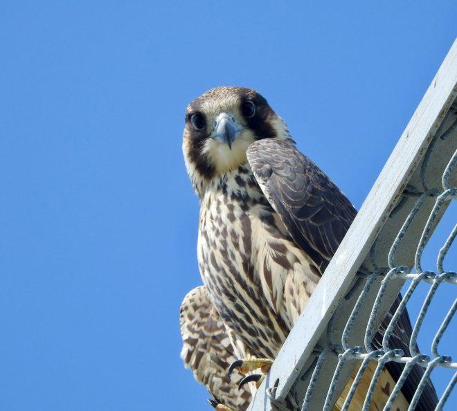 Peregrine Falcon - BirdWatching