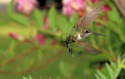 How hummingbirds fly