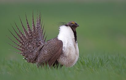 Conservationists slam rollback of sage-grouse plan