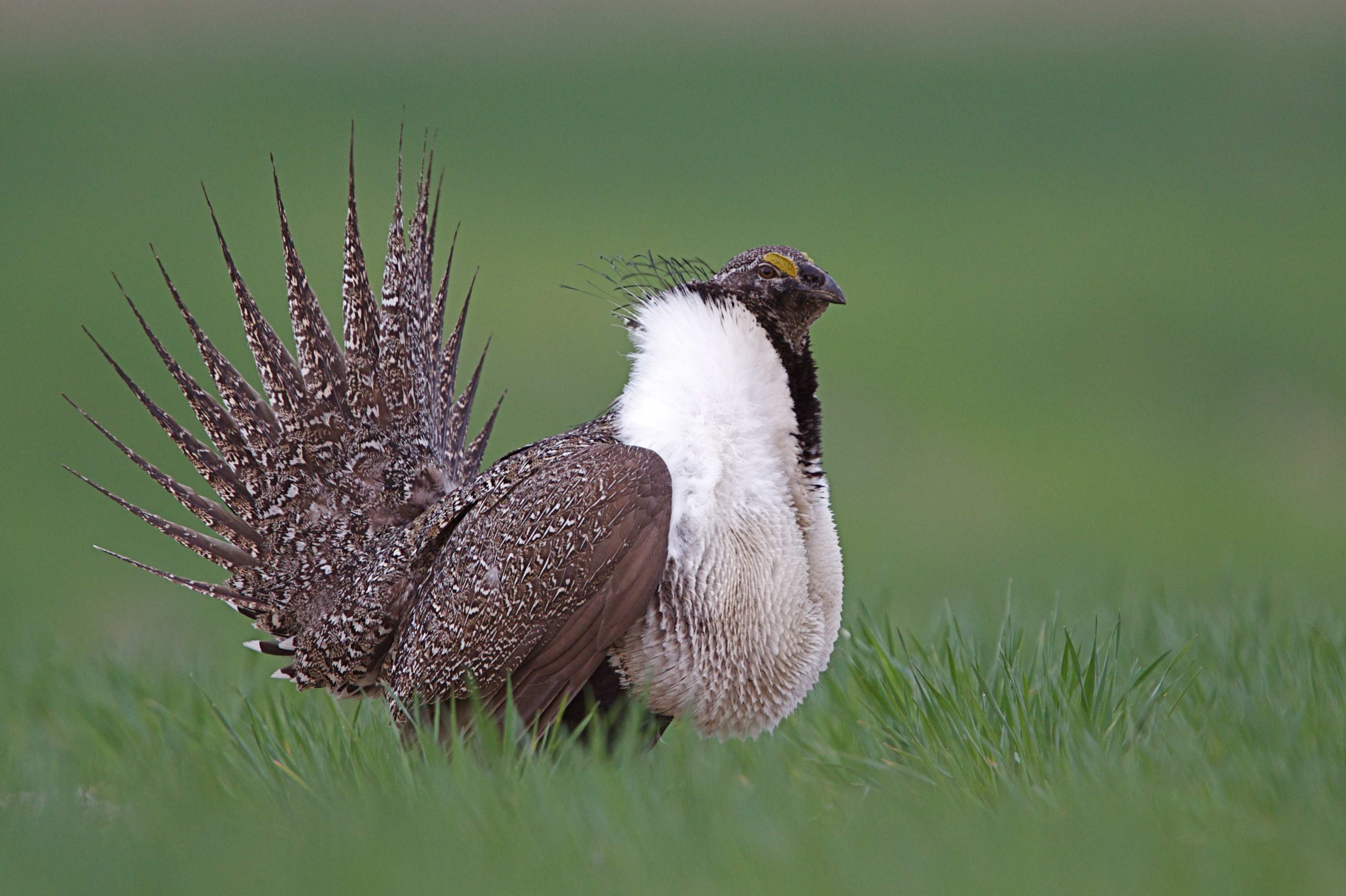 sage-grouse