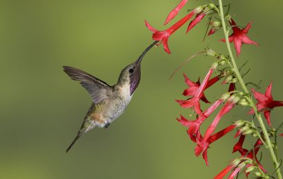 Tips for identifying Lucifer Hummingbird