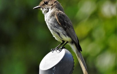 Maps from eBird track Eastern Phoebe