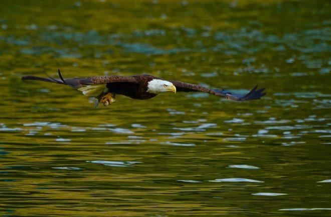 Bald Eagle - BirdWatching
