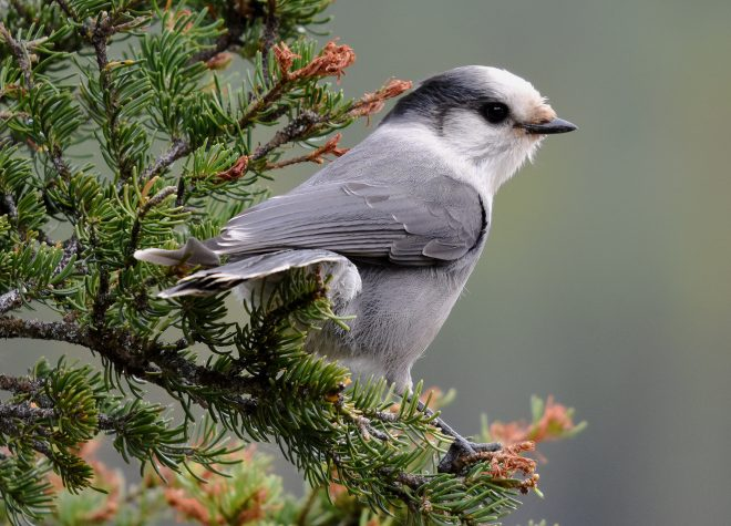 Canada Jay - BirdWatching