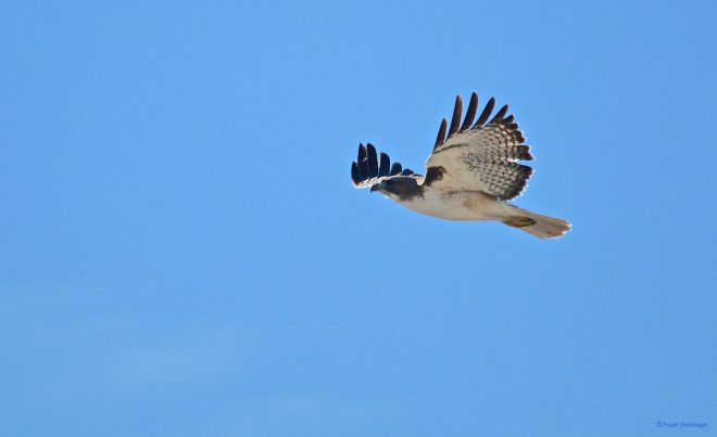 Short-tailed Hawk - BirdWatching