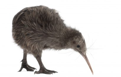 How climate change threatens New Zealand's kiwis