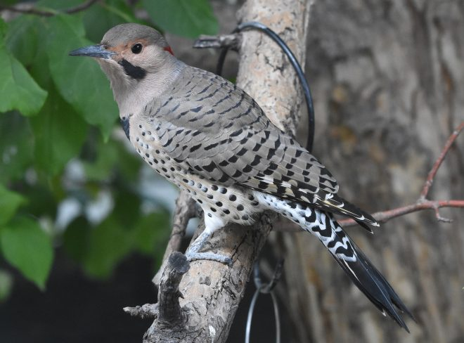 Northern Flicker - BirdWatching