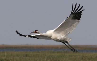 Whooping Crane flock in Texas remains stable