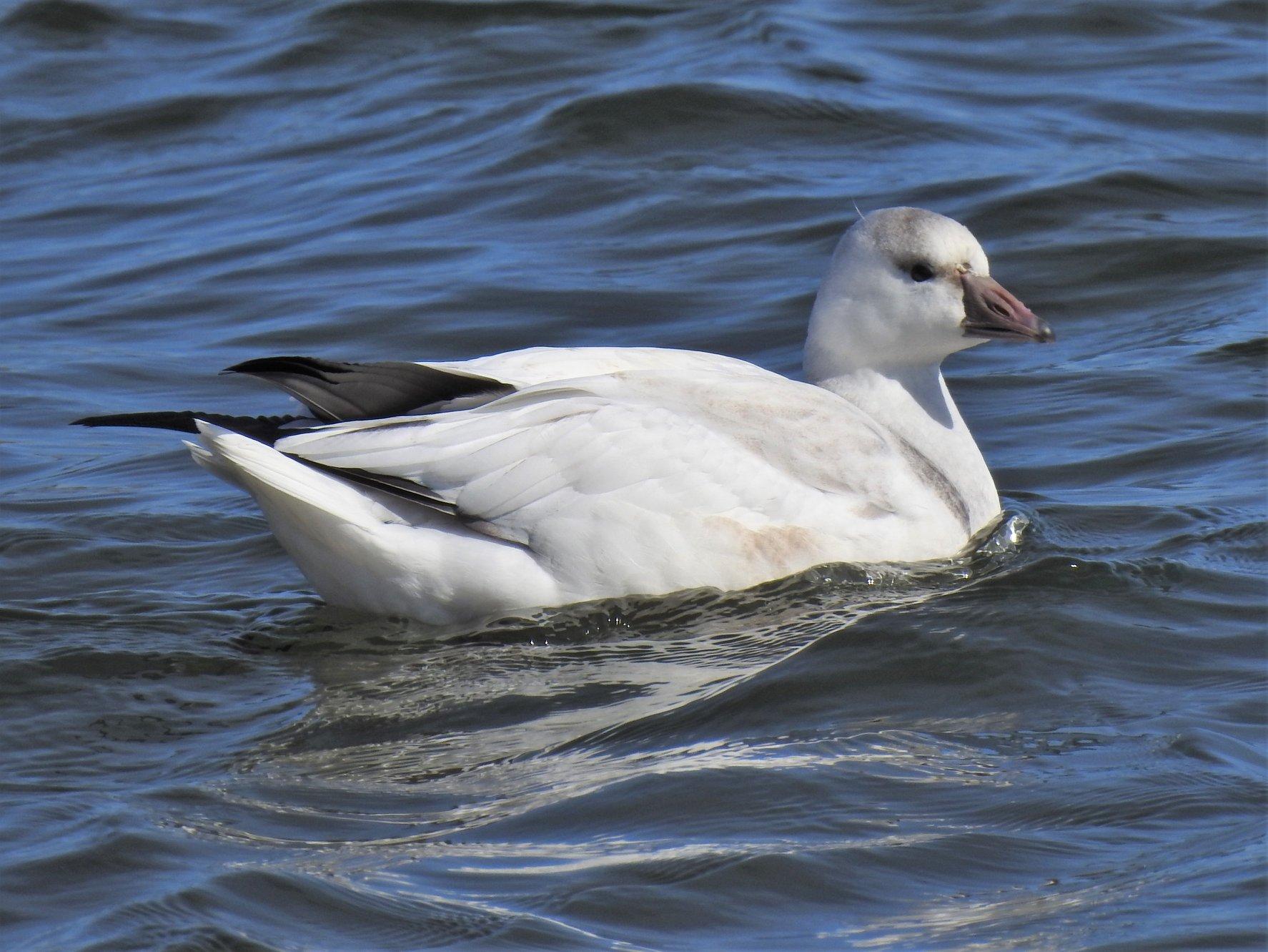 Snow Goose - BirdWatching