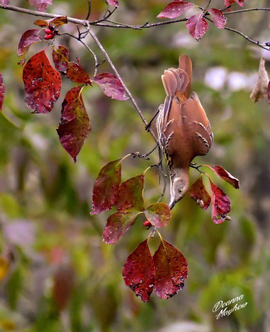 Brown Thrasher - BirdWatching