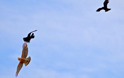 Red-shouldered Hawk and American Crows