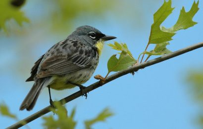 Kirtland's Warbler removed from Endangered Species List