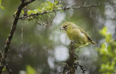 Saving the Kiwikiu, a native Hawaiian songbird