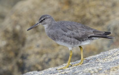 Identifying Wandering Tattler and Spotted Sandpiper