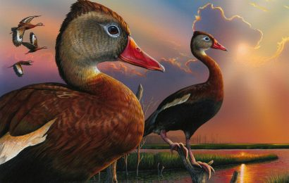 Next Duck Stamp to feature Black-bellied Whistling-Duck