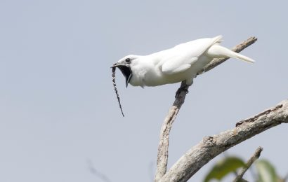 New study: White Bellbird has loudest bird call ever measured