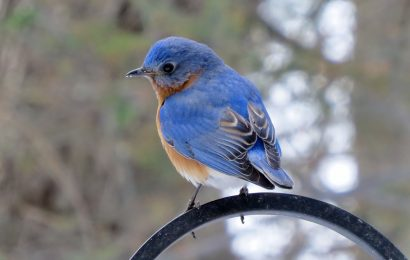 Why a male Eastern Bluebird cared for a brood of Tree Swallows