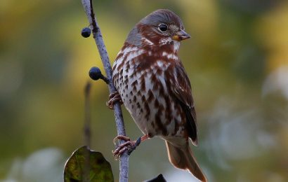Locate Fox Sparrow with the help of eBird maps