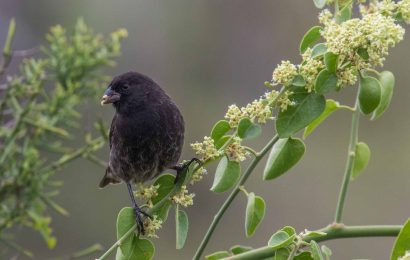 Study: Galápagos finches still wary despite eradication of invasive predators