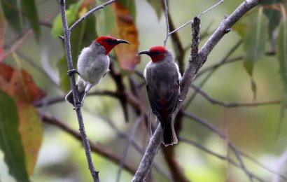 New honeyeater species described from Indonesia