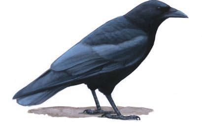 Why a crow might not appear to be 'all black'