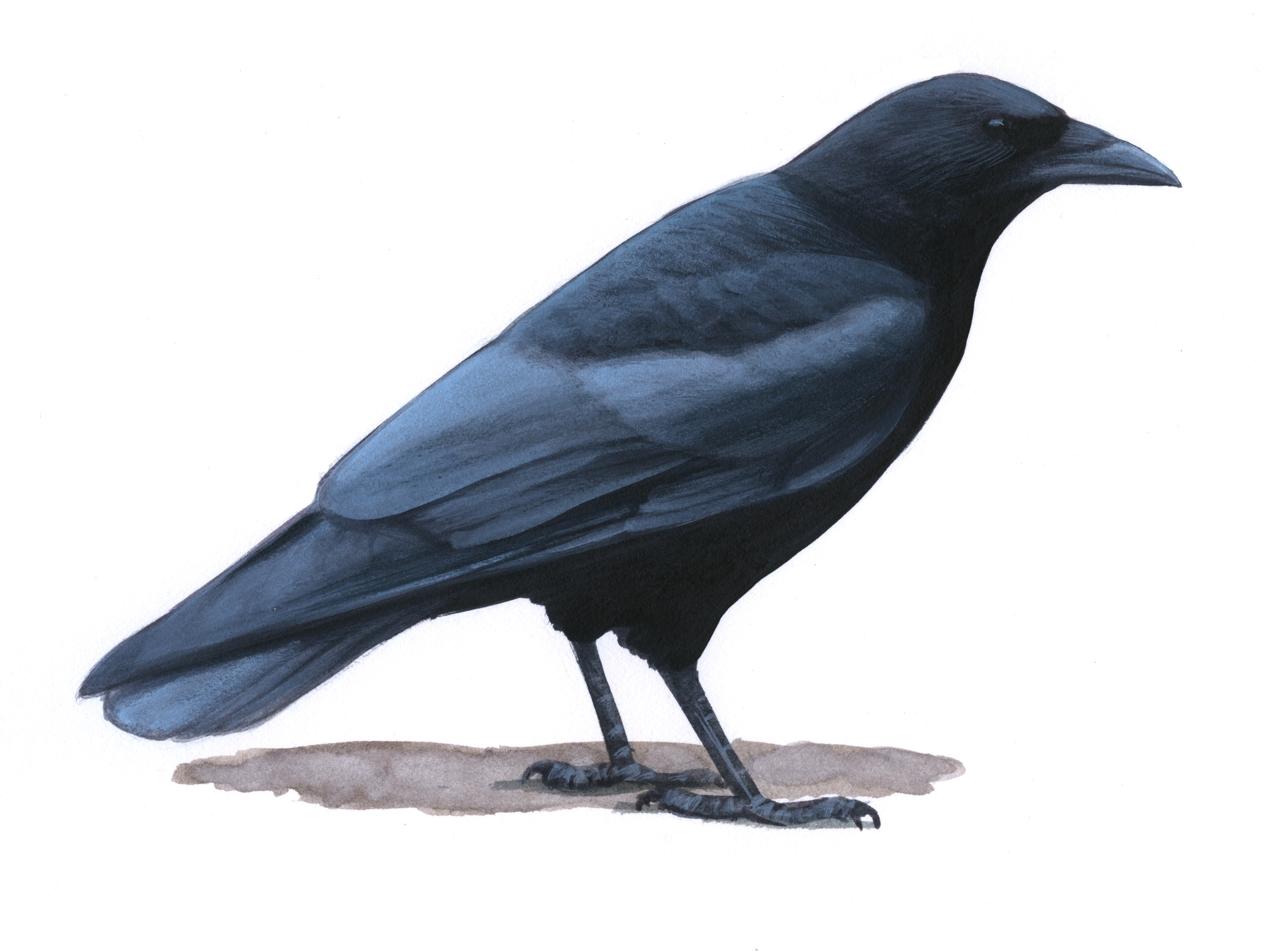 Why a crow might not appear to be 'all black' - BirdWatching