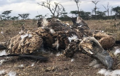 Kenyan conservation hero fights to save critically endangered vultures