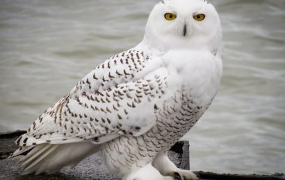 Big winter for Snowy Owls unlikely, expert says