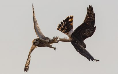Harrier and owl fight caught on camera