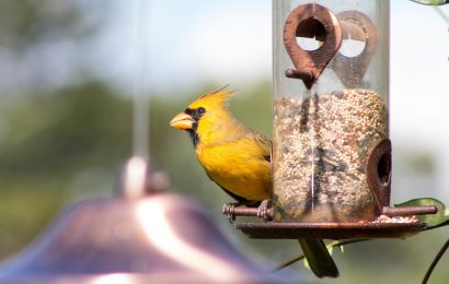Yellow cardinal still visiting Florida backyard
