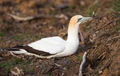 Thousands of gannets nested on New Zealand's White Island