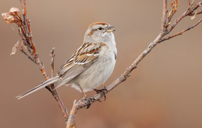 Tips for identifying American Tree Sparrow