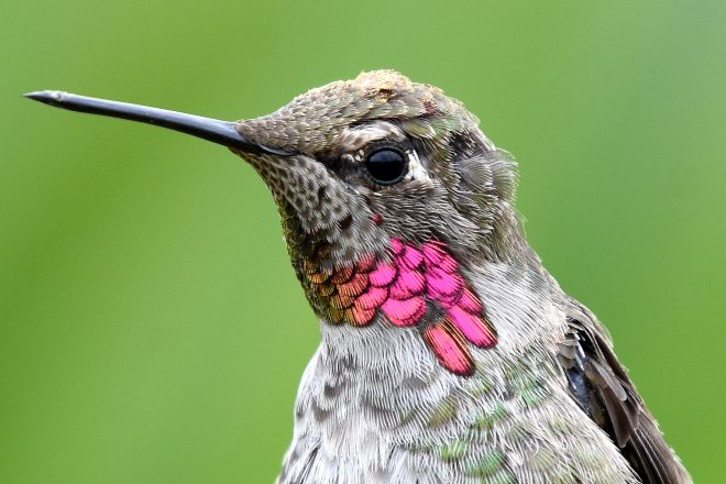 New research: Why hummingbirds' feathers shimmer - BirdWatching