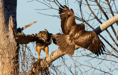 Great Horned Owl and Red-tailed Hawk