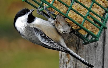 Why it's difficult to tally your backyard chickadees