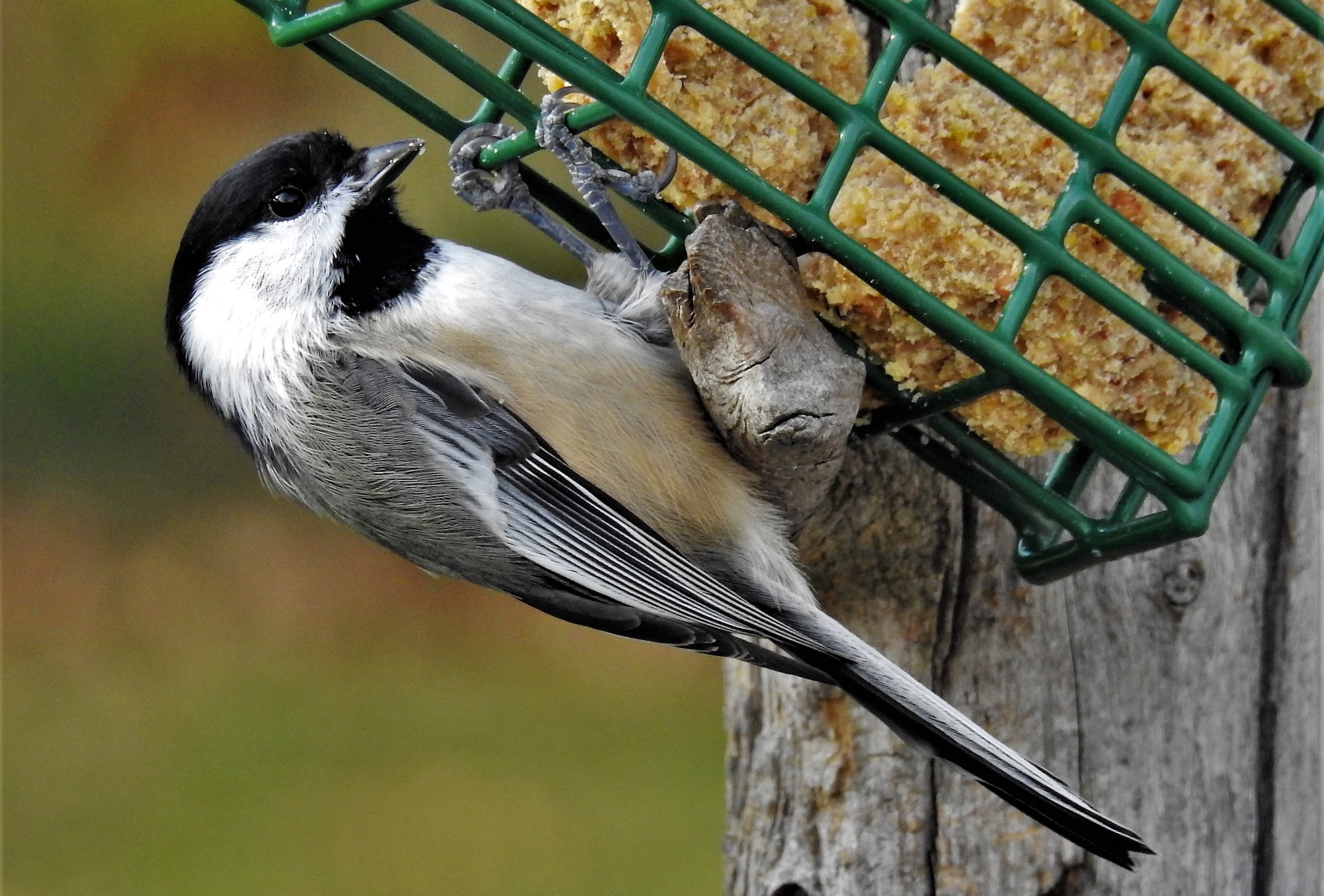 backyard chickadees