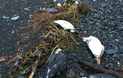 Study: Rising sea temperatures to blame for Common Murre deaths