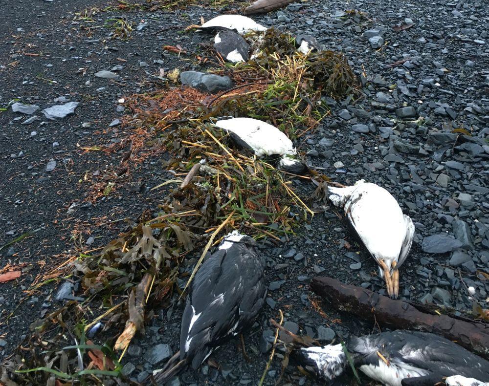 Common Murre carcasses