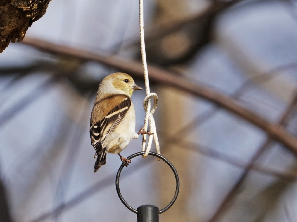 American Goldfinch - BirdWatching