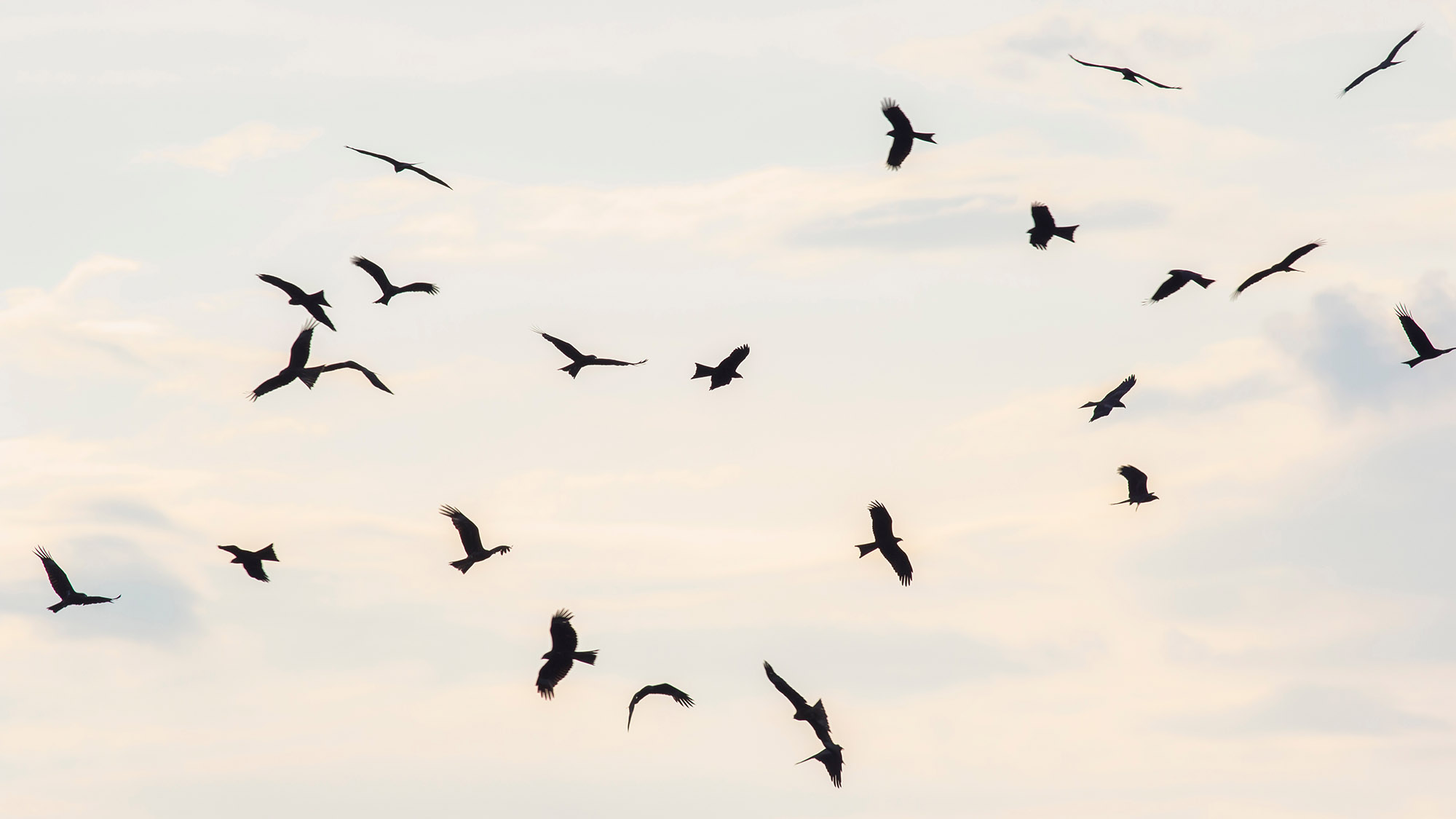 A kettle of hawks