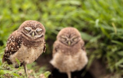 When Burrowing Owls make time to sleep