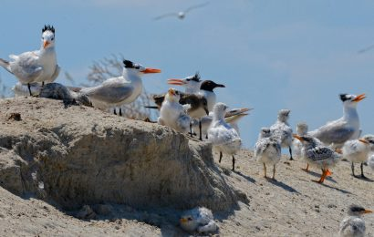 Virginia destroys state's largest waterbird colony, resists calls to build new island