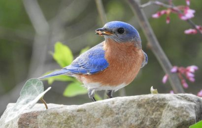 Feeding bluebirds helps their chicks fend off parasites