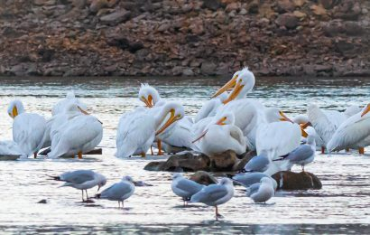 American White Pelicans and Ring-billed Gulls